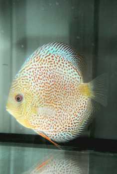 Cercare annunci pesci italia for Pesce discus