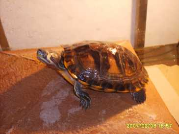 Cercare annunci tartarughe italia pagina 9 for Tartarughe razze